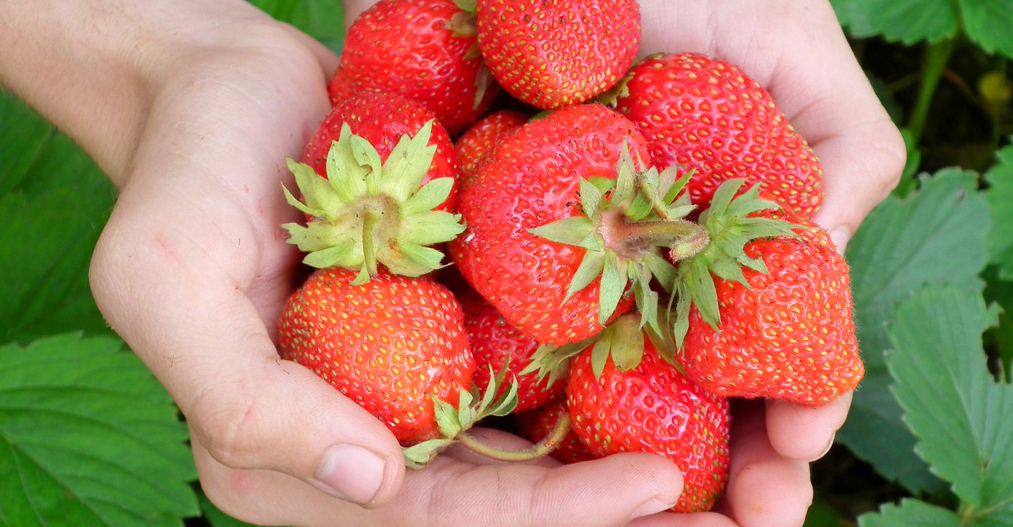 AI Experts and Growers: Strawberry growing competition